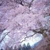 6 juin 1944, sous le cerisier