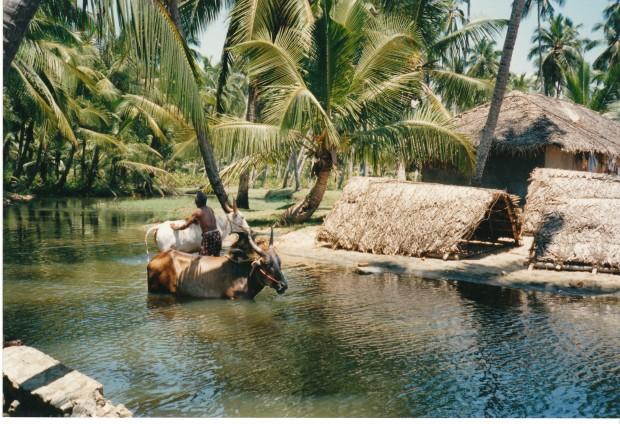 Paysan_soignant_ses_boeufs_(Kerala)
