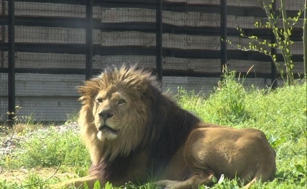 lion-nero-zoo-vincennes-1554673-616x380